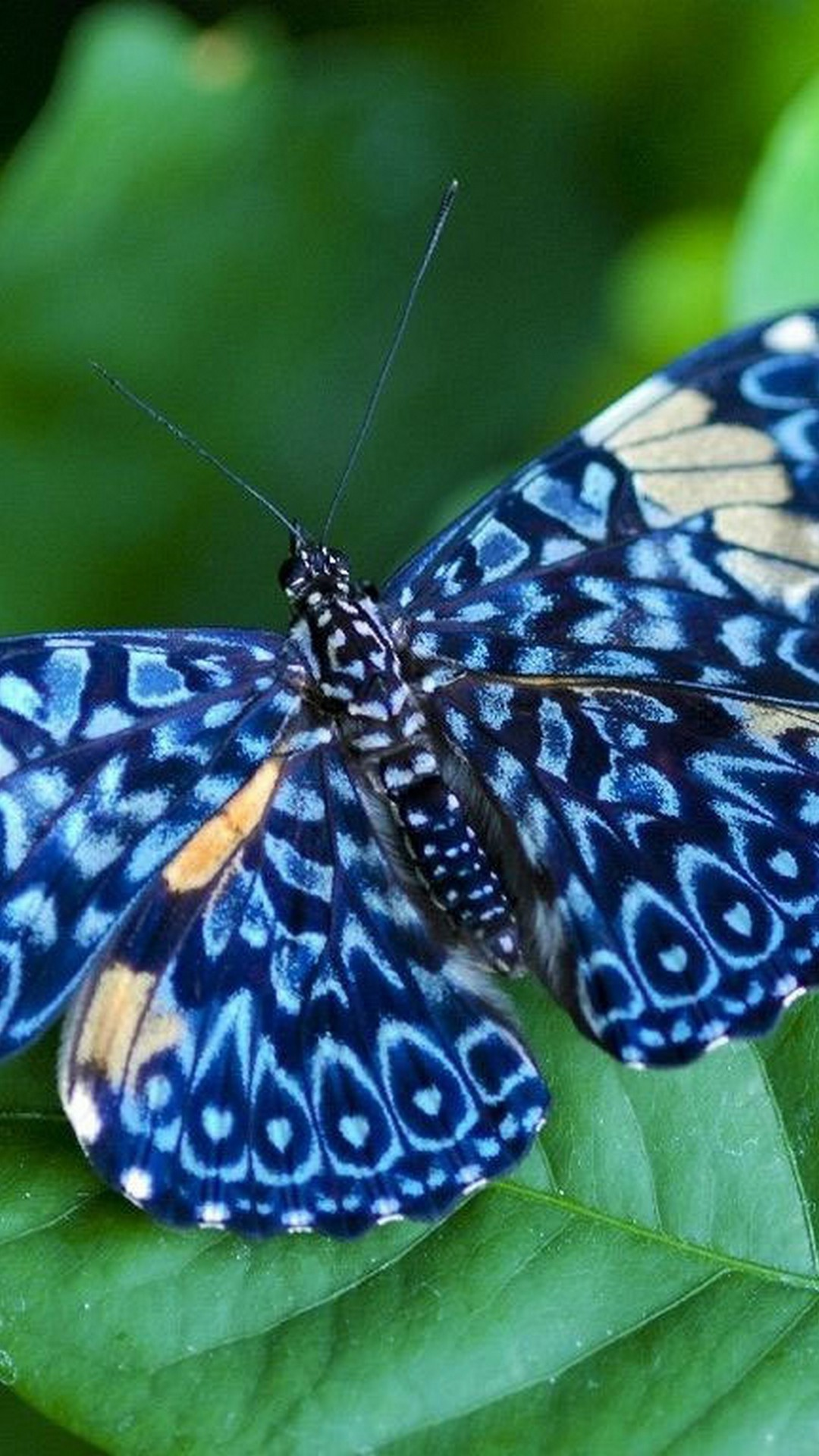 Scattered Blue Butterfly