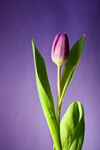 Tulip Purple Flower