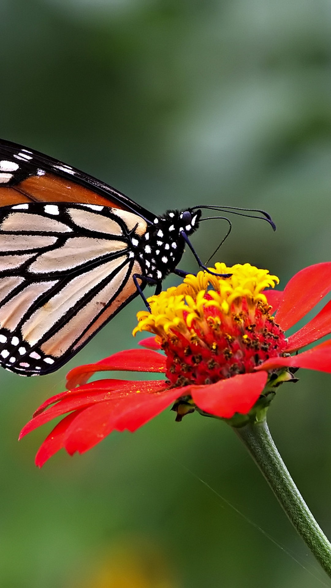 Wallpaper Android Butterfly Pictures